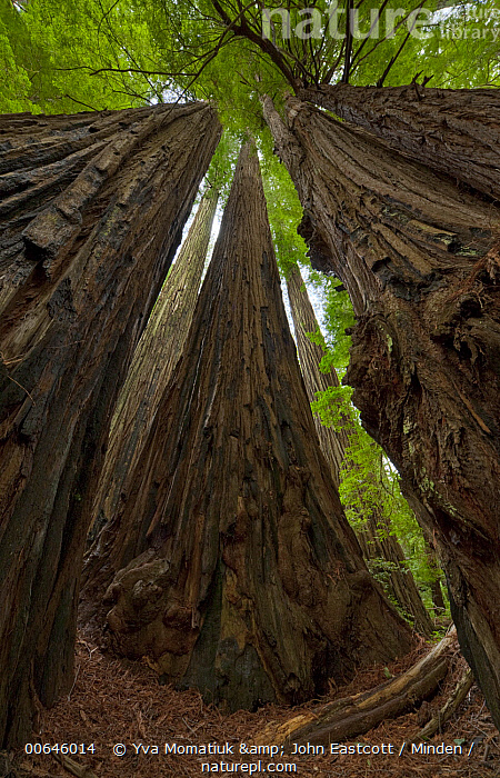 Coast Redwood (Sequoia sempervirens) trees, Humboldt Redwoods State Park, California  ,  California,Coast Redwood,Color Image,Day,Forest,Humboldt Redwoods State Park,Landscape,Looking Up,Low Angle View,Nobody,Outdoors,Photography,Sequoia sempervirens,Tall,Threatened Species,Tree,Tree Trunk,Vertical,Vulnerable Species,Wide-angle Lens,California,Coast Redwood,Color Image,Day,Forest,Humboldt Redwoods State Park,Landscape,Looking Up,Low Angle View,Nobody,Outdoors,Photography,Sequoia sempervirens,Tall,Threatened Species,Tree,Tree Trunk,Vertical,Vulnerable Species,Wide-angle Lens  ,  Yva Momatiuk & John Eastcott