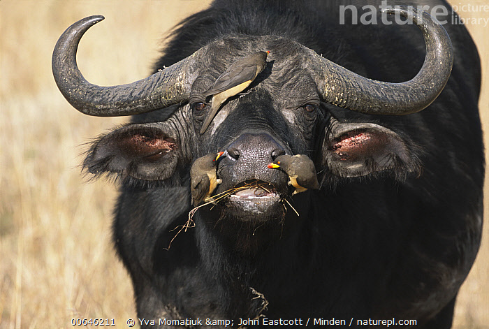 Cape Buffalo (Syncerus caffer) bull with Red-billed Oxpecker (Buphagus erythrorhynchus) pair, Masai Mara, Kenya  ,  Adult,Bull,Buphagus erythrorhynchus,Cape Buffalo,Color Image,Day,Front View,Full Length,Horizontal,Humor,Kenya,Looking at Camera,Male,Masai Mara,Mutualism,Nobody,Outdoors,Photography,Red-billed Oxpecker,Side View,Songbird,Symbiosis,Syncerus caffer,Three Animals,Three Quarter Length,Wildlife,Adult,Bull,Buphagus erythrorhynchus,Cape Buffalo,Color Image,Day,Front View,Full Length,Horizontal,Humor,Kenya,Looking at Camera,Male,Masai Mara,Mutualism,Nobody,Outdoors,Photography,Red-billed Oxpecker,Side View,Songbird,Symbiosis,Syncerus caffer,Three Animals,Three Quarter Length,Wildlife  ,  Yva Momatiuk & John Eastcott