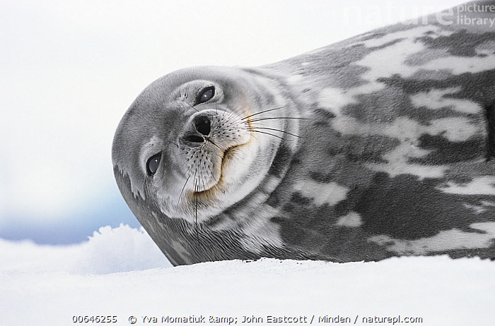 Weddell Seal (Leptonychotes weddellii), Antarctic Peninsula, Antarctica  ,  Adult,Antarctica,Antarctic Peninsula,Color Image,Day,Head and Shoulders,Horizontal,Leptonychotes weddellii,Looking at Camera,Marine Mammal,Nobody,One Animal,Outdoors,Photography,Portrait,Side View,Smiling,Weddell Seal,Wildlife,Adult,Antarctica,Antarctic Peninsula,Color Image,Day,Head and Shoulders,Horizontal,Leptonychotes weddellii,Looking at Camera,Marine Mammal,Nobody,One Animal,Outdoors,Photography,Portrait,Side View,Smiling,Weddell Seal,Wildlife  ,  Yva Momatiuk & John Eastcott