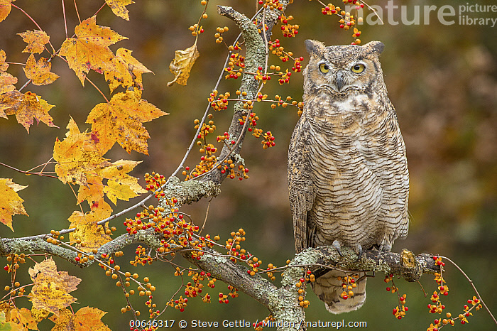 Great Horned Owl (Bubo virginianus), native to North America  ,  Adult,Autumn,Bubo virginianus,Captive,Color Image,Day,Front View,Full Length,Great Horned Owl,Horizontal,Nobody,One Animal,Outdoors,Photography,Raptor,Wildlife  ,  Steve Gettle