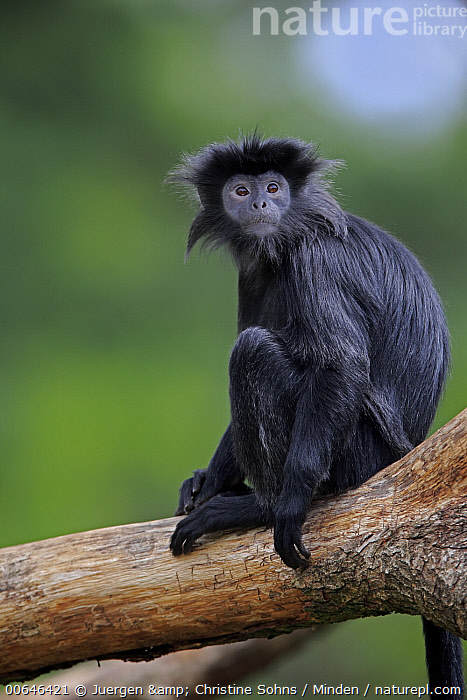 Ebony Leaf Monkey (Trachypithecus auratus), native to Asia  ,  Adult,Arboreal,Captive,Color Image,Day,Ebony Leaf Monkey,Looking at Camera,Nobody,One Animal,Outdoors,Photography,Side View,Threatened Species,Three Quarter Length,Trachypithecus auratus,Vertical,Vulnerable Species,Wildlife  ,  Juergen & Christine Sohns