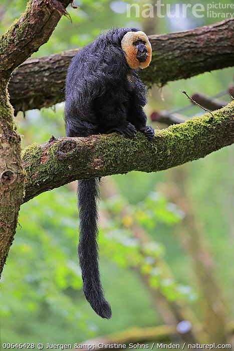 White-faced Saki (Pithecia pithecia) male, native to South America  ,  Adult,Arboreal,Captive,Color Image,Day,Full Length,Male,Nobody,One Animal,Outdoors,Photography,Pithecia pithecia,Side View,Vertical,White-faced Saki,Wildlife  ,  Juergen & Christine Sohns