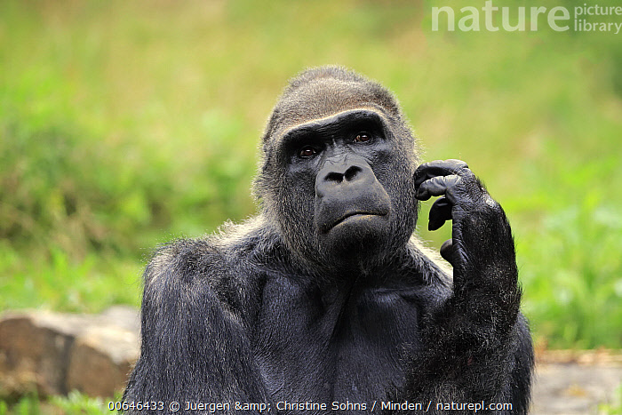 Gorilla (Gorilla gorilla) silverback scratching, native to Africa  ,  Adult,Captive,Color Image,Critically Endangered Species,Day,Endangered Species,Front View,Gorilla,Gorilla gorilla,Head and Shoulders,Horizontal,Male,Nobody,One Animal,Outdoors,Photography,Portrait,Scratching,Silverback,Thinking,Wildlife  ,  Juergen & Christine Sohns