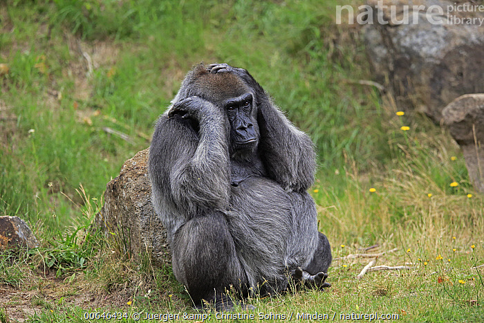 Gorilla (Gorilla gorilla) female, native to Africa  ,  Adult,Captive,Color Image,Critically Endangered Species,Day,Endangered Species,Female,Full Length,Gorilla,Gorilla gorilla,Horizontal,Nobody,One Animal,Outdoors,Photography,Side View,Wildlife  ,  Juergen & Christine Sohns