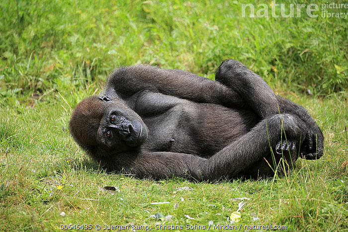 Gorilla (Gorilla gorilla) younger male, native to Africa  ,  Adult,Captive,Color Image,Critically Endangered Species,Day,Endangered Species,Full Length,Gorilla,Gorilla gorilla,Horizontal,Looking at Camera,Male,Nobody,One Animal,Outdoors,Photography,Side View,Wildlife  ,  Juergen & Christine Sohns