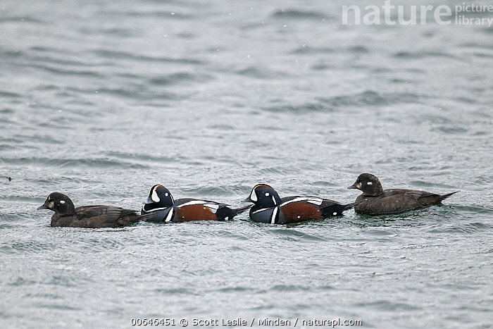 Harlequin Duck (Histrionicus histrionicus) drakes and females in winter, Nova Scotia, Canada  ,  Adult,Canada,Color Image,Day,Dimorphic,Drake,Female,Four Animals,Full Length,Harlequin Duck,Histrionicus histrionicus,Horizontal,Male,Nobody,Nova Scotia,Outdoors,Photography,Sexual Dimorphism,Side View,Waterfowl,Wildlife,Winter  ,  Scott Leslie