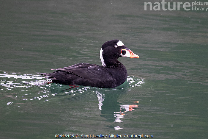 Surf Scoter (Melanitta perspicillata) in winter, Bay of Fundy, Nova Scotia, Canada  ,  Adult,Bay of Fundy,Canada,Color Image,Day,Full Length,Horizontal,Melanitta perspicillata,Nobody,Nova Scotia,One Animal,Outdoors,Photography,Reflection,Seabird,Side View,Surf Scoter,Wildlife,Winter  ,  Scott Leslie