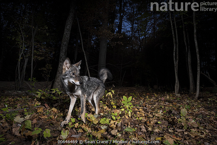 Coyote (Canis latrans) in forest at night, Farmington, Connecticut  ,  Adult,Animal in Habitat,Camera Trap,Canis latrans,Color Image,Connecticut,Coyote,Farmington,Forest,Full Length,Horizontal,Night,Nobody,One Animal,Outdoors,Photography,Side View,Wildlife  ,  Sean Crane