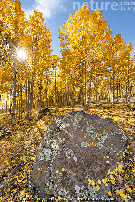 Quaking Aspen (Populus tremuloides) trees in autumn, Grand Staircase-Escalante National Monument, Utah  ,  Autumn,Blue Sky,Color Image,Day,Fall Colors,Forest,Grand Staircase-Escalante National Monument,Landscape,Nobody,Outdoors,Photography,Populus tremuloides,Quaking Aspen,Shadow,Sun,Tree,Utah,Vertical,Yellow  ,  Jeff Foott