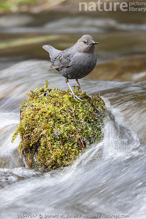 American Dipper (Cinclus mexicanus) at river, Montana  ,  Adult,American Dipper,Cinclus mexicanus,Color Image,Day,Full Length,Montana,Nobody,One Animal,Outdoors,Photography,River,Side View,Songbird,Vertical,Wildlife  ,  Donald M. Jones
