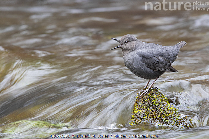 American Dipper (Cinclus mexicanus) calling, Montana  ,  Adult,American Dipper,Calling,Cinclus mexicanus,Color Image,Day,Full Length,Horizontal,Montana,Nobody,One Animal,Open Mouth,Outdoors,Photography,Side View,Songbird,Wildlife  ,  Donald M. Jones