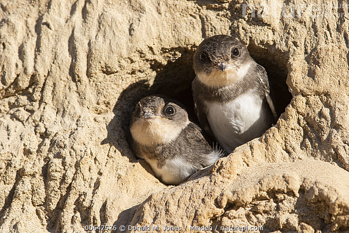 Sand Martin (Riparia riparia) chicks in nest cavity, Montana  ,  Baby,Chick,Color Image,Day,Front View,Horizontal,Looking at Camera,Montana,Nest Cavity,Nobody,Outdoors,Photography,Riparia riparia,Sand Martin,Side View,Songbird,Two Animals,Waist Up,Wildlife  ,  Donald M. Jones