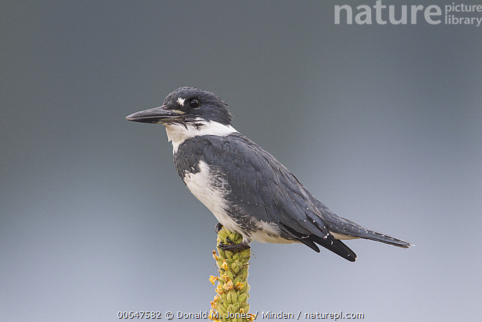 Belted Kingfisher (Megaceryle alcyon) male, Montana  ,  Adult,Belted Kingfisher,Color Image,Day,Full Length,Horizontal,Male,Megaceryle alcyon,Montana,Nobody,One Animal,Outdoors,Photography,Side View,Water Bird,Wildlife  ,  Donald M. Jones