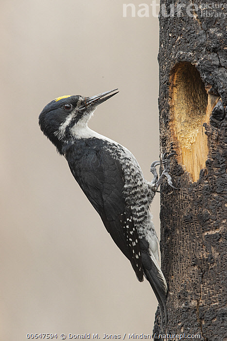 Black-backed Woodpecker (Picoides arcticus) male at nest cavity in tree burned in forest fire, Montana  ,  Adult,Black-backed Woodpecker,Color Image,Day,Full Length,Male,Montana,Nest Cavity,Nobody,One Animal,Outdoors,Photography,Picoides arcticus,Side View,Vertical,Wildlife  ,  Donald M. Jones