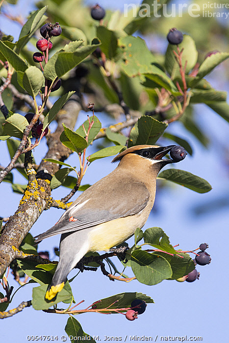 Cedar Waxwing (Bombycilla cedrorum) feeding on fruit, Montana  ,  Adult,Bombycilla cedrorum,Cedar Waxwing,Color Image,Day,Feeding,Fruit,Full Length,Low Angle View,Montana,Nobody,One Animal,Outdoors,Photography,Side View,Songbird,Vertical,Wildlife  ,  Donald M. Jones