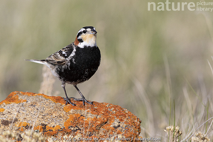 Chestnut-collared Longspur (Calcarius ornatus) male, Montana  ,  Adult,Calcarius ornatus,Chestnut-collared Longspur,Color Image,Day,Full Length,Horizontal,Male,Montana,Nobody,One Animal,Outdoors,Photography,Side View,Songbird,Wildlife  ,  Donald M. Jones