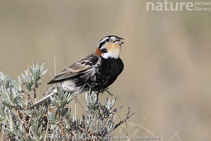 Chestnut-collared Longspur (Calcarius ornatus) male calling, Montana  ,  Adult,Calcarius ornatus,Calling,Chestnut-collared Longspur,Color Image,Day,Full Length,Horizontal,Male,Montana,Nobody,One Animal,Open Mouth,Outdoors,Photography,Side View,Singing,Songbird,Wildlife  ,  Donald M. Jones