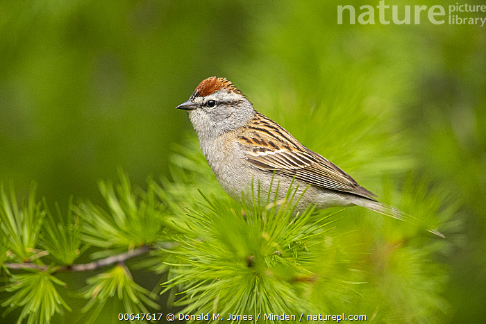 Chipping Sparrow (Spizella passerina), Montana  ,  Adult,Chipping Sparrow,Color Image,Day,Full Length,Horizontal,Montana,Nobody,One Animal,Outdoors,Photography,Side View,Songbird,Spizella passerina,Wildlife  ,  Donald M. Jones