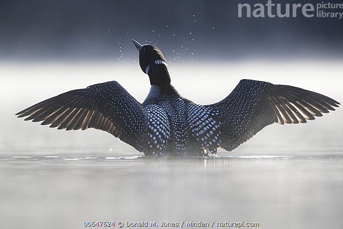 Common Loon (Gavia immer) stretching, Montana  ,  Adult,Backlighting,Color Image,Common Loon,Day,Full Length,Gavia immer,Horizontal,Mist,Montana,Nobody,One Animal,Outdoors,Photography,Rear View,Spreading Wings,Stretching,Waterfowl,Wildlife  ,  Donald M. Jones
