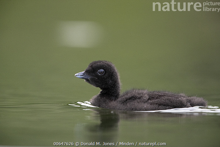 Common Loon (Gavia immer) chick, Montana  ,  Baby,Chick,Color Image,Common Loon,Day,Full Length,Gavia immer,Horizontal,Montana,Nobody,One Animal,Outdoors,Photography,Side View,Waterfowl,Wildlife  ,  Donald M. Jones
