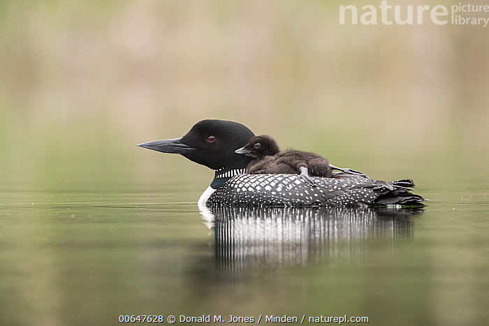 Common Loon (Gavia immer) parent carrying chick, Montana  ,  Adult,Baby,Carrying,Chick,Color Image,Common Loon,Day,Female,Full Length,Gavia immer,Horizontal,Montana,Mother,Nobody,Outdoors,Parent,Parenting,Photography,Side View,Two Animals,Waterfowl,Wildlife  ,  Donald M. Jones