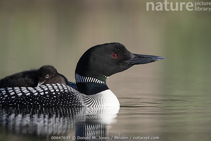 Common Loon (Gavia immer) parent carrying chick, Montana  ,  Adult,Baby,Chick,Color Image,Common Loon,Day,Gavia immer,Horizontal,Montana,Nobody,Outdoors,Parent,Parenting,Photography,Side View,Two Animals,Waist Up,Waterfowl,Wildlife  ,  Donald M. Jones