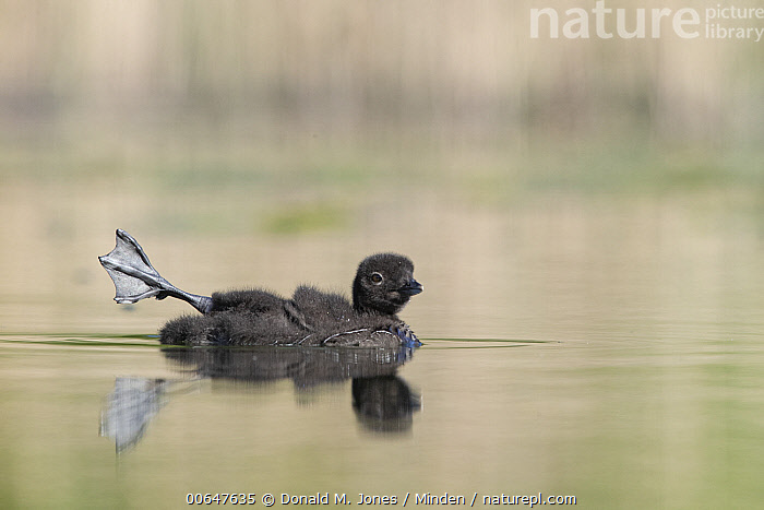 Common Loon (Gavia immer) chick stretching, Montana  ,  Baby,Chick,Color Image,Common Loon,Day,Feet,Foot,Full Length,Gavia immer,Horizontal,Humor,Montana,Nobody,One Animal,Outdoors,Photography,Side View,Stretching,Waterfowl,Webbed,Wildlife  ,  Donald M. Jones