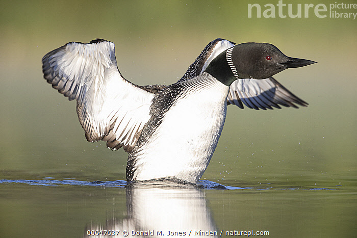 Common Loon (Gavia immer) stretching, Montana  ,  Adult,Color Image,Common Loon,Day,Full Length,Gavia immer,Horizontal,Montana,Nobody,One Animal,Outdoors,Photography,Side View,Spreading Wings,Stretching,Waterfowl,Wildlife  ,  Donald M. Jones