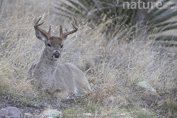 Coue's Deer (Odocoileus virginianus couesi) buck in winter, Montana  ,  Adult,Buck,Camouflage,Color Image,Coue's Deer,Day,Full Length,Horizontal,Looking at Camera,Male,Montana,Nobody,Odocoileus virginianus couesi,One Animal,Outdoors,Photography,Side View,Wildlife,Winter  ,  Donald M. Jones