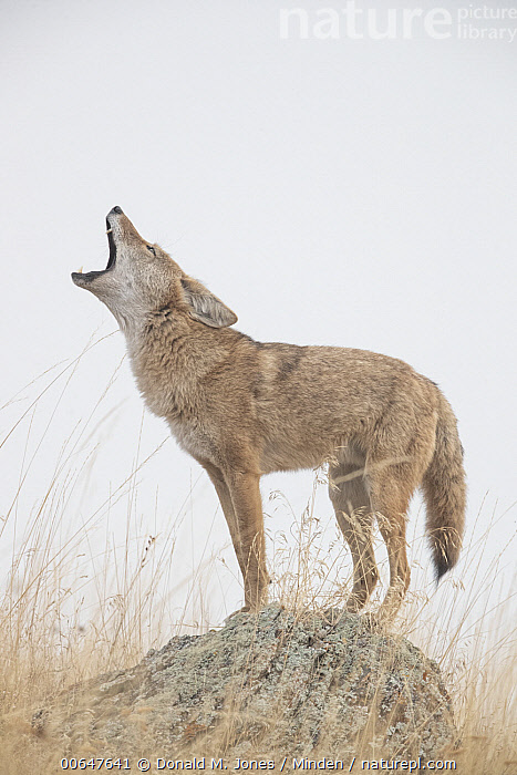 Coyote (Canis latrans) calling, Montana  ,  Adult,Calling,Canis latrans,Color Image,Coyote,Day,Full Length,Howling,Montana,Nobody,One Animal,Open Mouth,Outdoors,Photography,Side View,Vertical,Wildlife  ,  Donald M. Jones