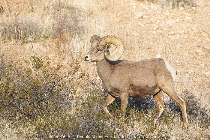 Desert Bighorn Sheep (Ovis canadensis nelsoni) ram in winter, Montana  ,  Adult,Color Image,Day,Desert Bighorn Sheep,Full Length,Horizontal,Male,Montana,Nobody,One Animal,Outdoors,Ovis canadensis nelsoni,Photography,Ram,Side View,Wildlife,Winter  ,  Donald M. Jones