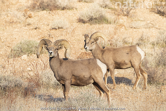 Desert Bighorn Sheep (Ovis canadensis nelsoni) rams in winter, Montana  ,  Adult,Color Image,Day,Desert Bighorn Sheep,Full Length,Horizontal,Looking at Camera,Male,Montana,Nobody,Outdoors,Ovis canadensis nelsoni,Photography,Ram,Side View,Two Animals,Wildlife,Winter  ,  Donald M. Jones