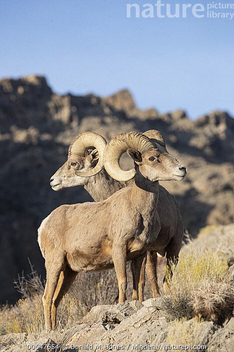 Desert Bighorn Sheep (Ovis canadensis nelsoni) rams in winter, Montana  ,  Adult,Color Image,Day,Desert Bighorn Sheep,Formation,Full Length,Horn,Male,Montana,Nobody,Outdoors,Ovis canadensis nelsoni,Photography,Ram,Side View,Two Animals,Vertical,Wildlife,Winter  ,  Donald M. Jones
