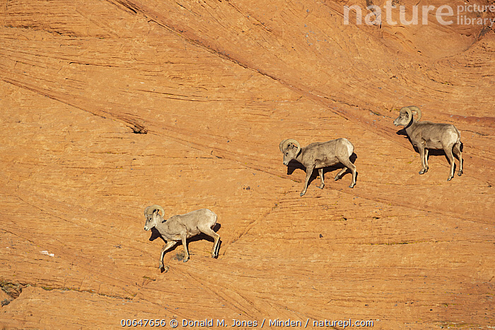 Desert Bighorn Sheep (Ovis canadensis nelsoni) rams in winter, Montana  ,  Adult,Cliff,Color Image,Day,Desert Bighorn Sheep,Full Length,Horizontal,Line,Male,Montana,Nobody,Outdoors,Ovis canadensis nelsoni,Photography,Ram,Side View,Three Animals,Wildlife,Winter  ,  Donald M. Jones