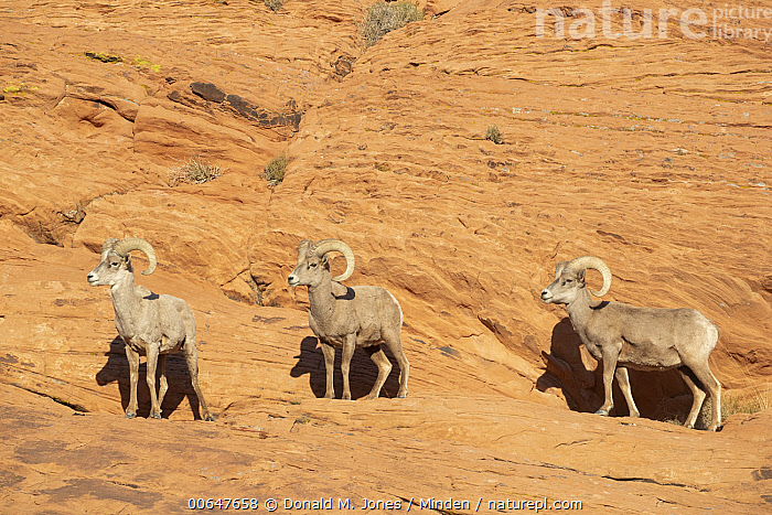 Desert Bighorn Sheep (Ovis canadensis nelsoni) rams in winter, Montana  ,  Adult,Color Image,Day,Desert Bighorn Sheep,Following,Full Length,Horizontal,Male,Montana,Nobody,Outdoors,Ovis canadensis nelsoni,Photography,Ram,Side View,Three Animals,Wildlife,Winter  ,  Donald M. Jones