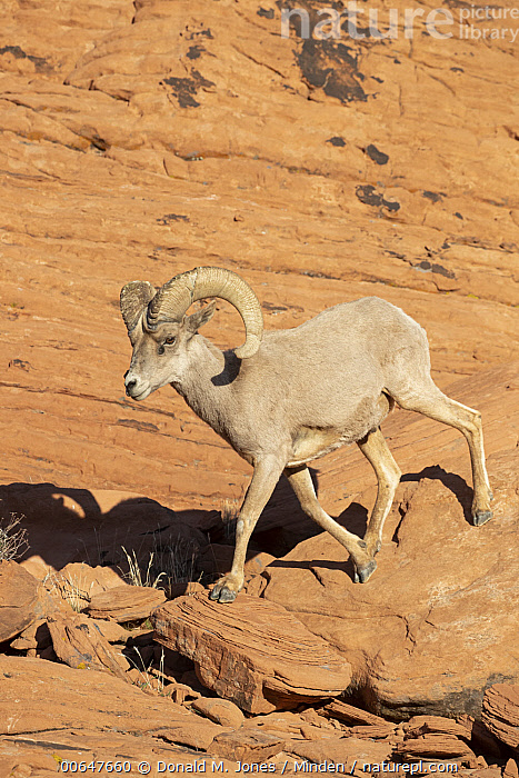 Desert Bighorn Sheep (Ovis canadensis nelsoni) ram in winter, Montana  ,  Adult,Color Image,Day,Desert Bighorn Sheep,Full Length,Male,Montana,Nobody,One Animal,Outdoors,Ovis canadensis nelsoni,Photography,Ram,Side View,Vertical,Wildlife,Winter  ,  Donald M. Jones