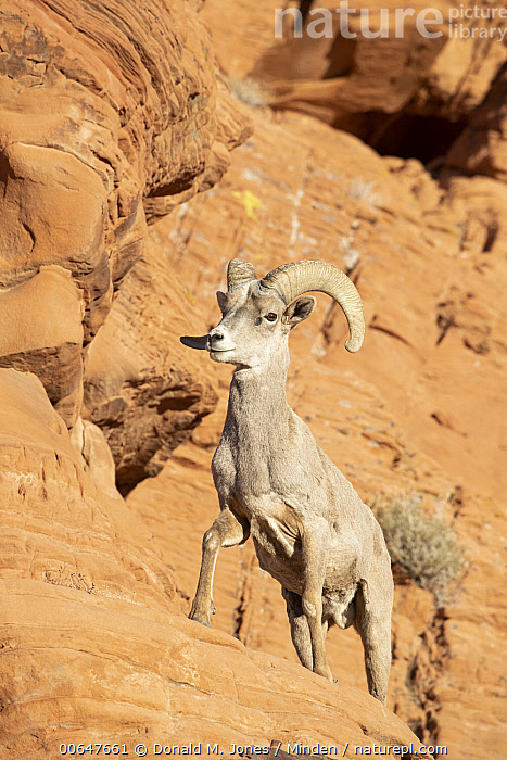 Desert Bighorn Sheep (Ovis canadensis nelsoni) ram in winter, Montana  ,  Adult,Color Image,Day,Desert Bighorn Sheep,Full Length,Low Angle View,Male,Montana,Nobody,One Animal,Outdoors,Ovis canadensis nelsoni,Photography,Ram,Side View,Vertical,Wildlife,Winter  ,  Donald M. Jones