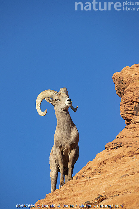 Desert Bighorn Sheep (Ovis canadensis nelsoni) ram in winter, Montana  ,  Adult,Color Image,Day,Desert Bighorn Sheep,Front View,Full Length,Low Angle View,Male,Montana,Nobody,One Animal,Outdoors,Ovis canadensis nelsoni,Photography,Ram,Strength,Vertical,Wildlife,Winter  ,  Donald M. Jones