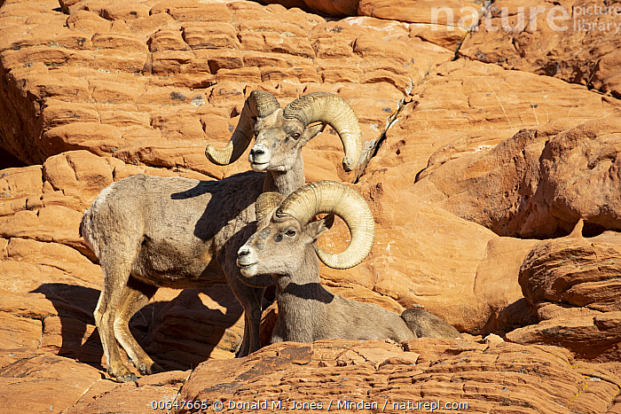 Desert Bighorn Sheep (Ovis canadensis nelsoni) rams in winter, Montana  ,  Adult,Color Image,Day,Desert Bighorn Sheep,Full Length,Horizontal,Male,Montana,Nobody,Outdoors,Ovis canadensis nelsoni,Photography,Ram,Side View,Two Animals,Wildlife,Winter  ,  Donald M. Jones