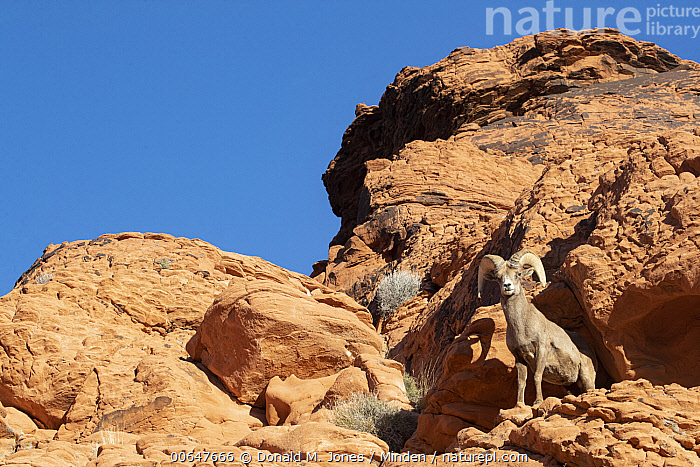 Desert Bighorn Sheep (Ovis canadensis nelsoni) ram in winter, Montana  ,  Adult,Cliff,Color Image,Day,Desert Bighorn Sheep,Full Length,Horizontal,Low Angle View,Male,Montana,Nobody,One Animal,Outdoors,Ovis canadensis nelsoni,Photography,Ram,Side View,Wildlife,Winter  ,  Donald M. Jones