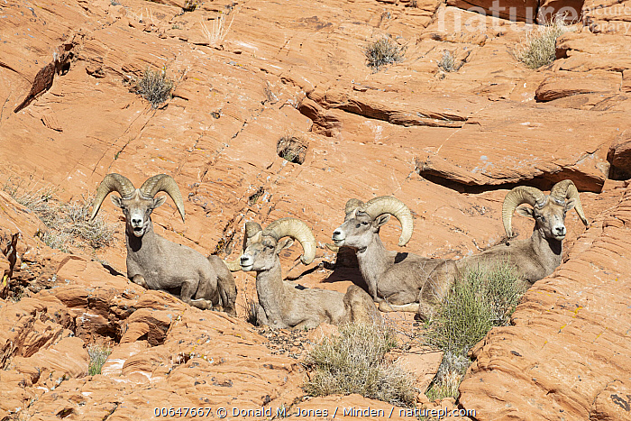 Desert Bighorn Sheep (Ovis canadensis nelsoni) rams, Montana  ,  Adult,Color Image,Day,Desert Bighorn Sheep,Four Animals,Full Length,Horizontal,Looking at Camera,Low Angle View,Male,Montana,Nobody,Outdoors,Ovis canadensis nelsoni,Photography,Ram,Side View,Wildlife  ,  Donald M. Jones