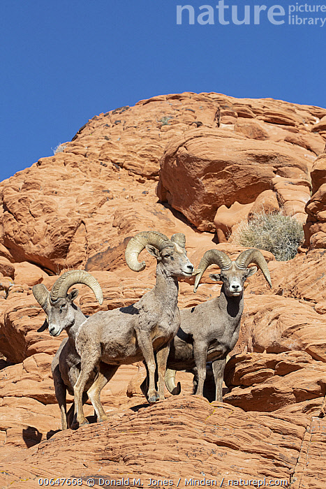Desert Bighorn Sheep (Ovis canadensis nelsoni) rams, Montana  ,  Adult,Color Image,Day,Desert Bighorn Sheep,Full Length,Looking at Camera,Low Angle View,Male,Montana,Nobody,Outdoors,Ovis canadensis nelsoni,Photography,Ram,Side View,Three Animals,Vertical,Wildlife  ,  Donald M. Jones