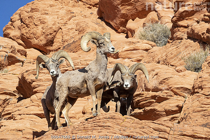Desert Bighorn Sheep (Ovis canadensis nelsoni) rams, Montana  ,  Adult,Color Image,Day,Desert Bighorn Sheep,Full Length,Horizontal,Looking at Camera,Male,Montana,Nobody,Outdoors,Ovis canadensis nelsoni,Photography,Ram,Side View,Three Animals,Wildlife  ,  Donald M. Jones