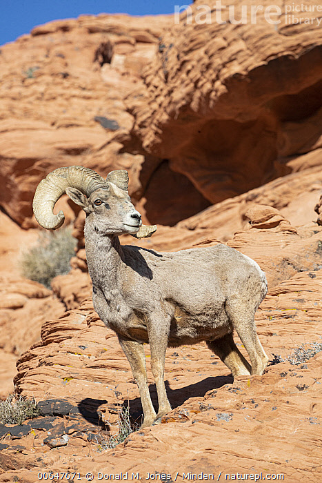 Desert Bighorn Sheep (Ovis canadensis nelsoni) ram, Montana  ,  Adult,Color Image,Day,Desert Bighorn Sheep,Full Length,Low Angle View,Male,Montana,Nobody,One Animal,Outdoors,Ovis canadensis nelsoni,Photography,Ram,Side View,Vertical,Wildlife  ,  Donald M. Jones