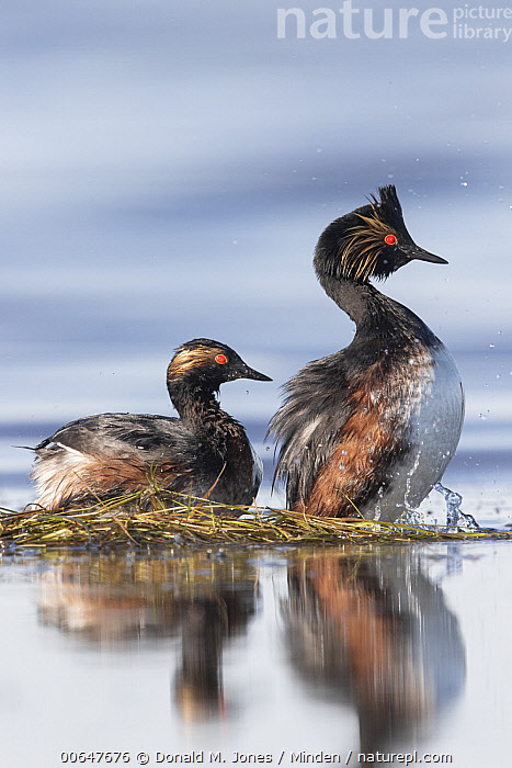 Eared Grebe (Podiceps nigricollis) pair at nest, Montana  ,  Adult,Color Image,Day,Eared Grebe,Full Length,Montana,Nest,Nobody,Outdoors,Photography,Podiceps nigricollis,Side View,Two Animals,Vertical,Waterfowl,Wildlife  ,  Donald M. Jones