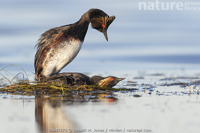 Eared Grebe (Podiceps nigricollis) pair mating on nest, Montana  ,  Adult,Color Image,Day,Eared Grebe,Female,Full Length,Horizontal,Male,Mating,Montana,Nest,Nobody,Outdoors,Photography,Podiceps nigricollis,Side View,Two Animals,Waterfowl,Wildlife  ,  Donald M. Jones