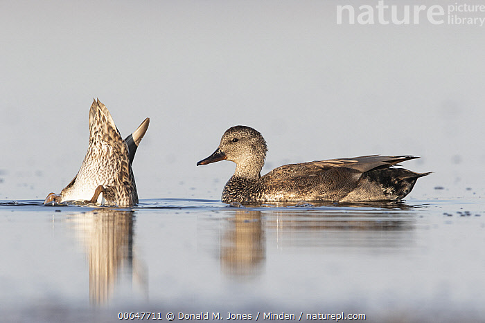 Gadwall (Anas strepera) drake and female dabbling, Montana  ,  Adult,Anas strepera,Backside,Color Image,Dabbling,Day,Drake,Female,Foraging,Full Length,Gadwall,Horizontal,Humor,Male,Montana,Nobody,Outdoors,Photography,Side View,Two Animals,Waterfowl,Wildlife  ,  Donald M. Jones