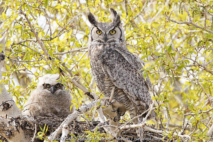 Great Horned Owl (Bubo virginianus) parent with owlet at nest, Montana  ,  Adult,Baby,Bubo virginianus,Chick,Color Image,Day,Front View,Full Length,Great Horned Owl,Horizontal,Looking at Camera,Low Angle View,Montana,Nest,Nobody,Outdoors,Owlet,Parent,Photography,Side View,Two Animals,Wildlife  ,  Donald M. Jones