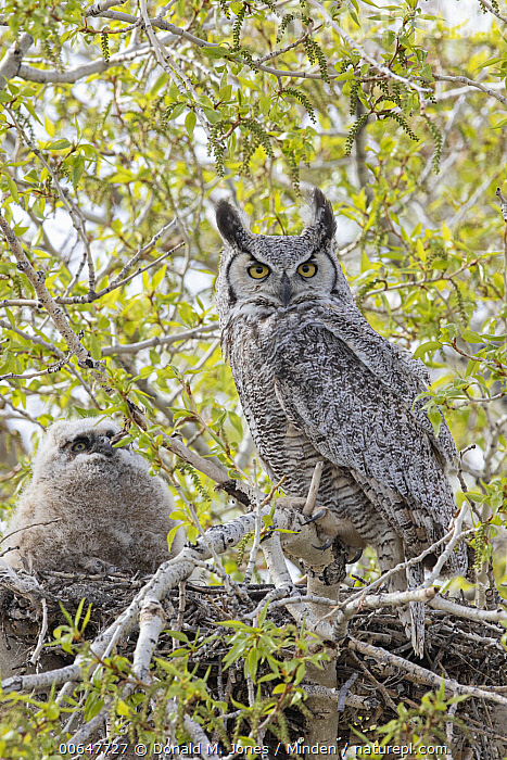 Great Horned Owl (Bubo virginianus) parent with owlet at nest, Montana  ,  Adult,Baby,Bubo virginianus,Chick,Color Image,Day,Front View,Full Length,Great Horned Owl,Looking at Camera,Montana,Nest,Nobody,Outdoors,Owlet,Parent,Photography,Side View,Two Animals,Vertical,Wildlife  ,  Donald M. Jones