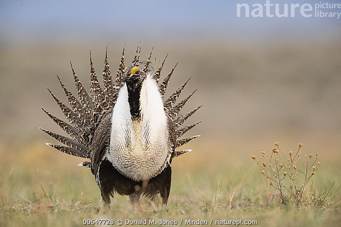 Sage Grouse (Centrocercus urophasianus) male in courtship display at lek, Montana  ,  Adult,Centrocercus urophasianus,Color Image,Courting,Day,Displaying,Front View,Full Length,Gamebird,Horizontal,Lek,Male,Montana,Nobody,One Animal,Outdoors,Photography,Sage Grouse,Wildlife  ,  Donald M. Jones